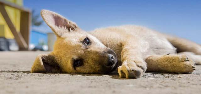 Coronavirus canino sintomas
